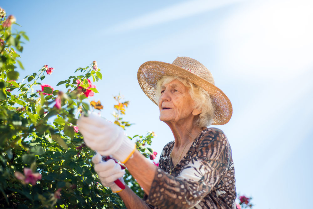 Older female memory care resident wearing hat and gardening gloves trims flower bush in the outdoors